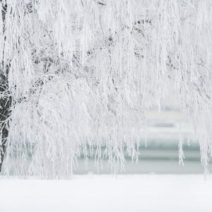 Tree covered in ice frozen